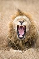 Lion (Panthera leo) yawning in a forest, Ngorongoro Crater, Ngorongoro, Tanzania by Panoramic Images - various sizes, FulcrumGallery.com brand