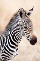 Close-up of a Burchell's Zebra (Equus burchelli), Ngorongoro Crater, Ngorongoro, Tanzania by Panoramic Images - various sizes