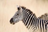 Burchell Zebra, Ngorongoro Crater, Ngorongoro, Tanzania by Panoramic Images - various sizes, FulcrumGallery.com brand