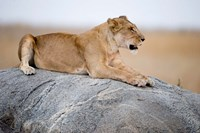 Close Up of a Lioness (Panthera leo) Sitting on a Rock, Serengeti, Tanzania by Panoramic Images - various sizes