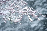 Snow covered branch during snowing, Washington State, USA by Panoramic Images - various sizes
