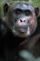 Close-up of a Chimpanzee (Pan troglodytes), Kibale National Park, Uganda Fine Art Print