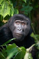 Close-up of a Mountain Gorilla (Gorilla beringei beringei), Bwindi Impenetrable National Park, Uganda Fine Art Print