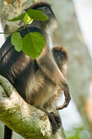 Red Colobus monkey with its young one on a tree, Kibale National Park, Uganda by Panoramic Images - various sizes, FulcrumGallery.com brand