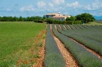 Lavender field, Plateau de Valensole, Alpes-de-Haute-Provence, Provence-Alpes-Cote d'Azur, France by Panoramic Images - various sizes
