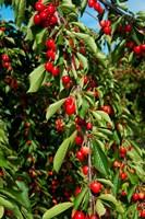 Cherries to be Harvested, Cucuron, Vaucluse, Provence-Alpes-Cote d'Azur, France (vertical) Fine Art Print