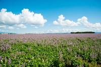 Field with flowers near D8, Brunet, Plateau de Valensole, Alpes-de-Haute-Provence, Provence-Alpes-Cote d'Azur, France by Panoramic Images - various sizes, FulcrumGallery.com brand