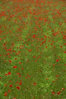 Poppy Field in Bloom, Les Gres, Sault, Vaucluse, Provence-Alpes-Cote d'Azur, France (vertical) by Panoramic Images - various sizes