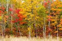 Colorful Trees in the Forest during Autumn, Muskoka, Ontario, Canada by Panoramic Images - various sizes