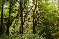 Trees in a Forest, Quinault Rainforest, Olympic National Park, Olympic Peninsula, Washington State Fine Art Print