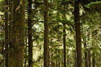 Trees in a forest, Queets Rainforest, Olympic National Park, Washington State, USA Fine Art Print