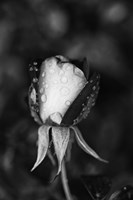 Close-up of a Rose, Glendale, Los Angeles County, California (black and white) by Panoramic Images - various sizes