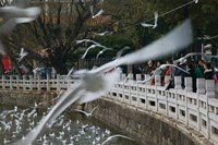 People feeding the gulls in a park, Green Lake Park, Kunming, Yunnan Province, China Fine Art Print