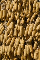 Corn cobs hanging to dry, Baisha, Lijiang, Yunnan Province, China Fine Art Print
