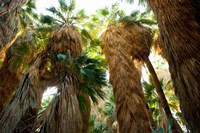Low angle view of palm trees, Palm Springs, Riverside County, California, USA Fine Art Print