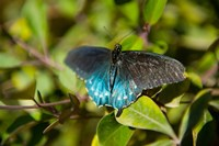 Blue tinted Butterfly on a leaf by Panoramic Images - various sizes