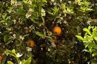 Orange trees in an orchard, Santa Paula, Ventura County, California, USA by Panoramic Images - various sizes