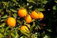 Oranges, Santa Paula, Ventura County, California Fine Art Print