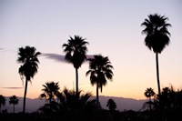 Silhouette of palm trees at dusk, Palm Springs, Riverside County, California, USA Fine Art Print