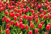 Field of Red Tulips Fine Art Print