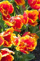 Tulips at Sherwood Gardens, Baltimore, Maryland Fine Art Print
