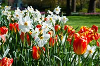 Tulips and other flowers at Sherwood Gardens, Baltimore, Maryland, USA Fine Art Print