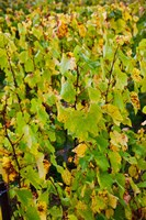 Vineyard in autumn, Chigny-les-Roses, Marne, Champagne-Ardenne, France by Panoramic Images - various sizes, FulcrumGallery.com brand
