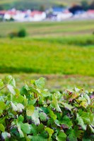 Vineyards in autumn, Chigny-les-Roses, Marne, Champagne-Ardenne, France by Panoramic Images - various sizes, FulcrumGallery.com brand