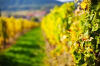 Autumn Vineyards in Mittelbergheim, Alsatian Wine Route, Bas-Rhin, Alsace, France by Panoramic Images - various sizes
