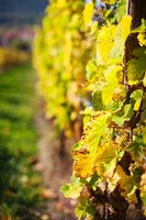 Vineyards in autumn, Mittelbergheim, Alsatian Wine Route, Bas-Rhin, Alsace, France by Panoramic Images - various sizes, FulcrumGallery.com brand