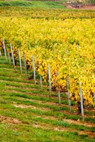 Vineyard, Ozenay, Maconnais, Saone-et-Loire, Burgundy, France by Panoramic Images - various sizes, FulcrumGallery.com brand