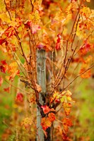 Vineyard in autumn, Gaillac, Tarn, Midi-Pyrenees, France (vertical) by Panoramic Images - various sizes, FulcrumGallery.com brand
