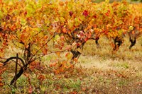 Vineyard in autumn, Gaillac, Tarn, Midi-Pyrenees, France (horizontal) by Panoramic Images - various sizes, FulcrumGallery.com brand