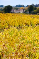 Autumn Vineyards, Montagne, Gironde, Aquitaine, France by Panoramic Images - various sizes