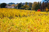 Vineyards in Autumn, Montagne, Gironde, Aquitaine, France by Panoramic Images - various sizes, FulcrumGallery.com brand