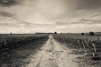 Vineyards in autumn, Pauillac, Haut Medoc, Gironde, Aquitaine, France by Panoramic Images - various sizes, FulcrumGallery.com brand