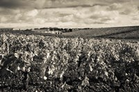 Chateau Lafite Rothschild vineyards in autumn, Pauillac, Haut Medoc, Gironde, Aquitaine, France (black and white) by Panoramic Images - various sizes
