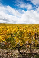 Chateau Lafite Rothschild vineyards in autumn, Pauillac, Haut Medoc, Gironde, Aquitaine, France by Panoramic Images - various sizes