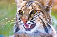 Close-up of a Bobcat (Lynx rufus) Framed Print