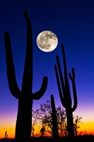 Moon over Saguaro cactus (Carnegiea gigantea), Tucson, Pima County, Arizona, USA Framed Print