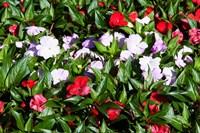Flowers in the garden at Villa Carlotta, Tremezzo, Lake Como, Lombardy, Italy Fine Art Print