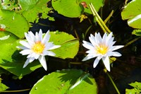 Water lilies with lily pads in a pond, Isola Madre, Stresa, Lake Maggiore, Piedmont, Italy Fine Art Print