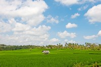 Rice field, Rejasa, Penebel, Bali, Indonesia Fine Art Print