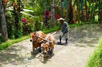 Farmer with Oxen, Rejasa, Penebel, Bali, Indonesia Fine Art Print