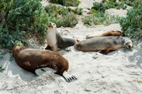 Australian Sea Lions (Neophoca cinerea) resting in sand, Seal Bay, Kangaroo Island, South Australia, Australia by Panoramic Images - various sizes - $54.99