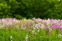 Pink and white fireweed flowers, Ontario, Canada Fine Art Print