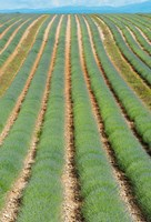 Rows of Lavender, Provence-Alpes-Cote d'Azur, France by Panoramic Images - various sizes
