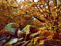 Trees with Granite Rocks at Huelgoat forest in autumn, Finistere, Brittany, France by Panoramic Images - various sizes - $56.49