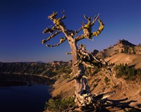 Whitebark Pine tree at lakeside, Merriam Point, Crater Lake National Park, Oregon, USA by Panoramic Images - various sizes - $58.49