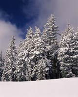 Snow Covered Western Hemlock and Fir Trees on Munson Ridge, Crater Lake National Park, Oregon by Panoramic Images - various sizes